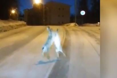 Pitkäkorvien huvittava tappelu tallentui jyväskyläläismiehen videolle – eläimet olivat aivan muina jäniksinä eivätkä välittäneet lähestyvästä autosta tippaakaan