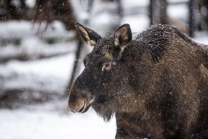 Pohjoisen hirvenmetsästys aikaistumassa viikolla – muutosten syynä aikainen talvi ja vaikeat lumiolosuhteet