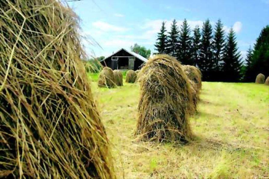 Seipäiltä paaleiksi. Kun seiväsheinä on kuivaa, se nostetaan pois seipäiltä , levitetään pellolle, pöyhitään ja lopuksi paalataan.
