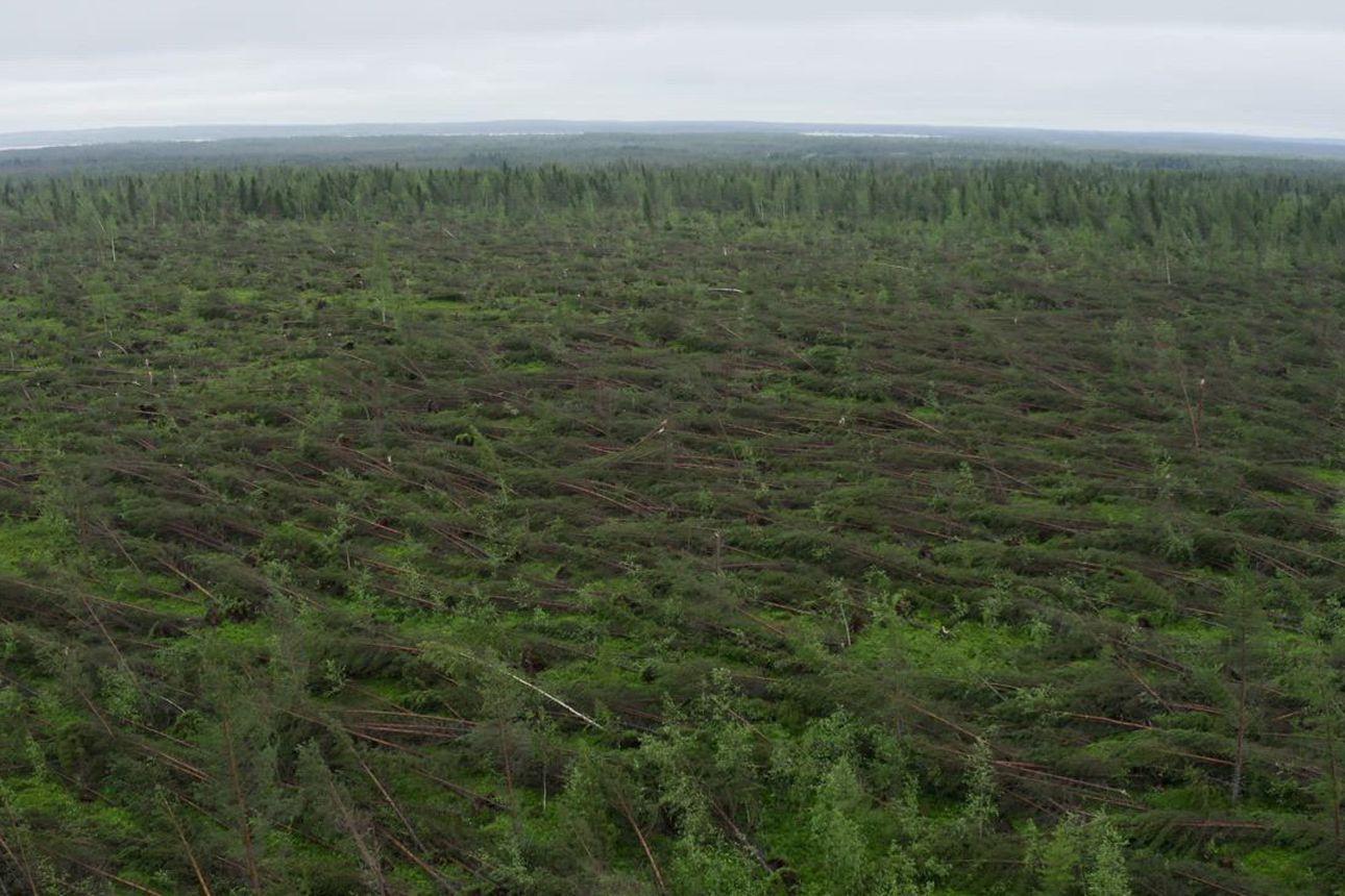 Kuusamossa puuta kaatui kuin heinää tiistain myrskyssä – katso hätkähdyttävä video metsätuhoista