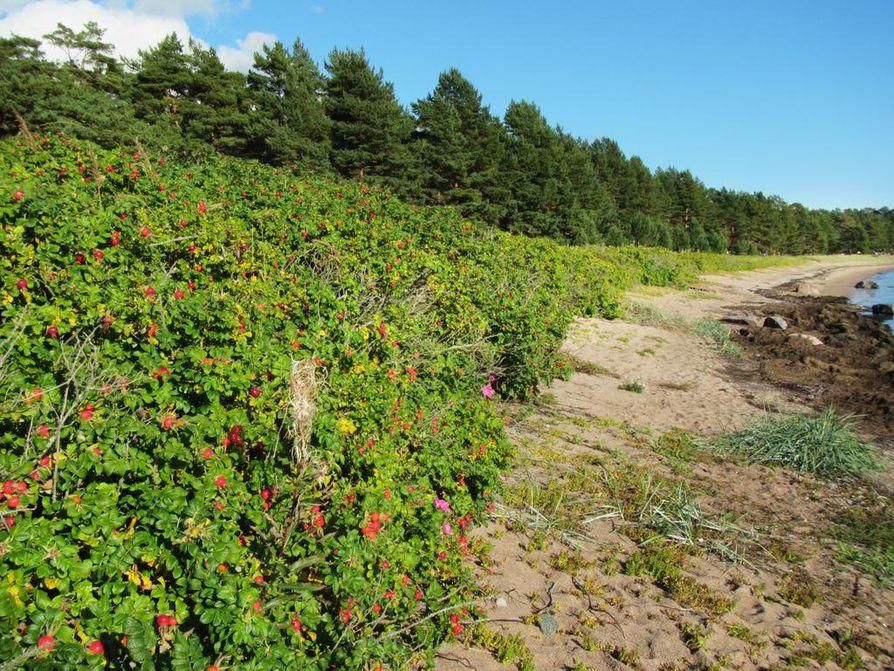 Hangon Furuvik on yksittäisenä kurtturuusukohteena ehkä Suomen pahin. Ennen hoitotoimia jopa kulku rantaan oli mahdotonta.