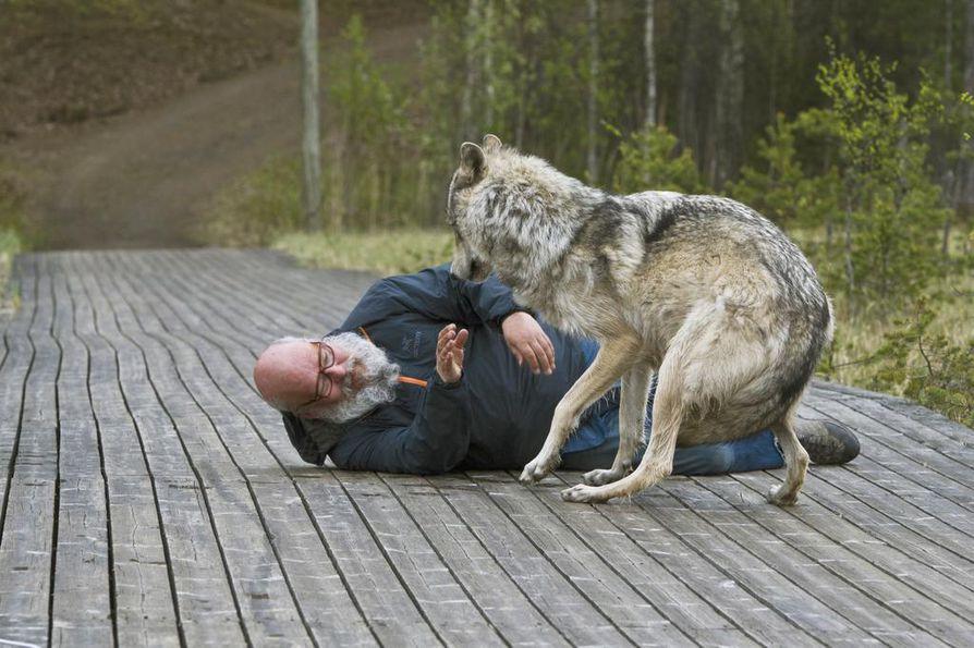 Tapani Launonen käyttää susikohtauksissa susia, koirasusia ja huskeja.