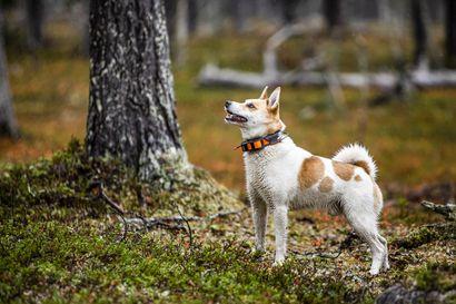 Itkupilli ja mammanpoika, mutta myös Suomen paras linnunhaukkuja: sellainen on Nierra, josta sodankyläläinen Kaisu Pulju sai elämänsä koiran