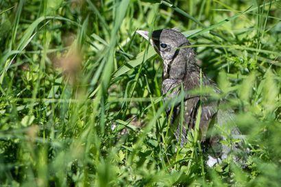 Hiljainen viserrys on harvoin avunhuuto – pesästä pudonneella poikasella on harvoin hätää
