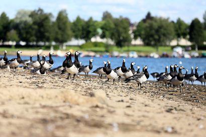 Valkoposkihanhet lasketaan viikonloppuna – Oulussa havaittu 250 linnun parvi