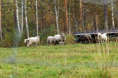 Alkuviikkoon mennessä Sarakylästä löydetty 50 lampaanraatoa – poikkeuslupa häirikkökarhun kaatamiseen vaikea saada