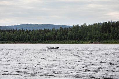 Lohennousussa huippuhetket Tornionjoella –Kattilakosken ohi on uinut liki 40000 lohta