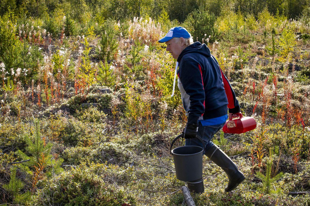 Aimo Karppinen näyttää miten puolukkaa poimitaan poimurilla.