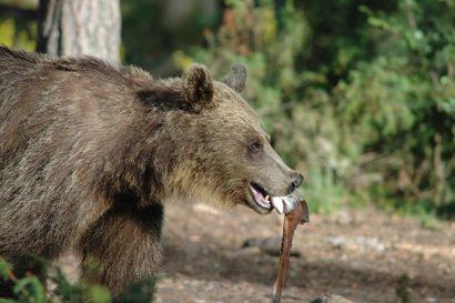 Koululaisilta: Karhujen haaskaruokintaa pitäisi rajoittaa