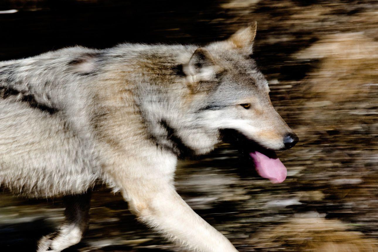 Raportti suden kannanhoidollisen metsästyksen edellytyksistä valmistui – Suomen luonnonsuojeluliiton mielestä susikanta on liian pieni yleiseen metsästykseen
