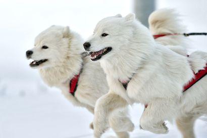 Kennelliitto: Huolehdi koirastasi vuodenvaihteessa