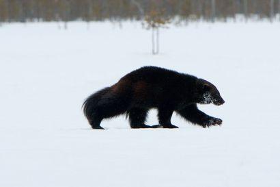 """Metsähallitus jatkaa erävalvontaa koronavirusepidemiasta huolimatta – Ylitarkastaja Juha Ahonen: """"Tällä hetkellä akuutti asia pohjoisessa on suurpetovalvonta. Esimerkiksi ahmoja on erävalvonnan mukaan seurattu ja yritetty saada hengiltä"""""""