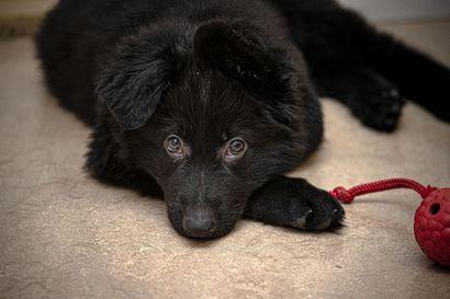 Jälleen uusi tutkimus puhuu koirien hyväätekevästä vaikutuksesta – sen mukaan koira muokkaa kodin mikrobistoa monipuolisemmaksi