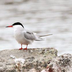 Sinipyrstö säväytti Kemijärvellä – Lapin lintutieteellisen yhdistyksen alueelta tunnetaan vain kaksi huhtikuista sinipyrstöä