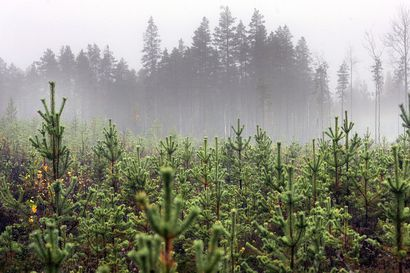 Lukijalta: Metsän jatkuvalla kasvatuksella pitkät perinteet