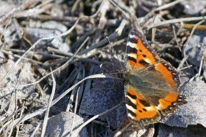 Kevään perhosiakin näkyy jo lentelevän – maanantaina kirjattiin Pudasjärven vuoden lämpöennätys