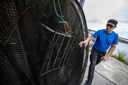 """Itämerennorpan pyyntikiintiö jakaa mielipiteitä: WWF vaatii kiintiön laskua, kalastajat toivovat nostoa – """"Kalastajat ne alkavat olemaan uhanalaisempia kuin norpat"""""""