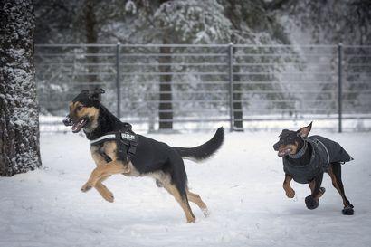 Koiravero jäi historiaan, mutta osa ihmisistä haluaisi palauttaa veron maksuna jätöksistä – suurin osa koirankakoista päätyy Oulussa oikeaan osoitteeseen