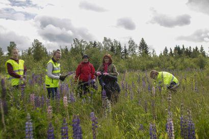 Lupiineille kyytiä – vieraslajit ovat levinneet pohjoisimpaan Suomeen saakka