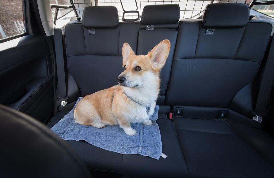 Welsh corgi George on kokenut automatkustaja. George on kiinnitetty takaistuimen turvavyöhön turvavaljaan avulla.