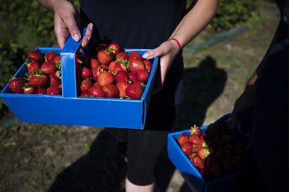 Mansikkakausi alkaa pian olla ohi Oulun seudulla – jatkuvat sateet pilasivat monen viljelijän kesän