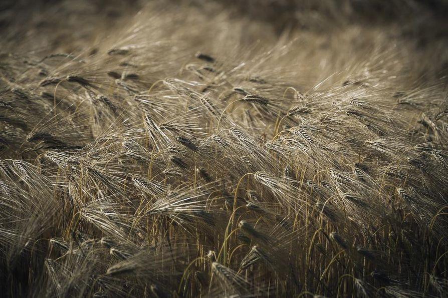 Suomessa tuotetusta viljasta pääosa käytetään kotieläinten ruokintaan – viime vuoden sadosta noin 56 prosenttia.