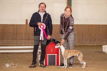 Hevoskeskuksen maneesissa kilvoitteli 164 koiranpentua – pentunäyttelyn kauneimmaksi koiraksi kruunattiin whippet