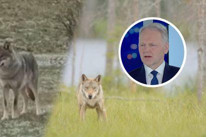 Susikeskustelu käy jälleen kuumana – maa- ja metsätalousministeri Jari Leppä vastaa MTV:n katsojien kysymyksiin