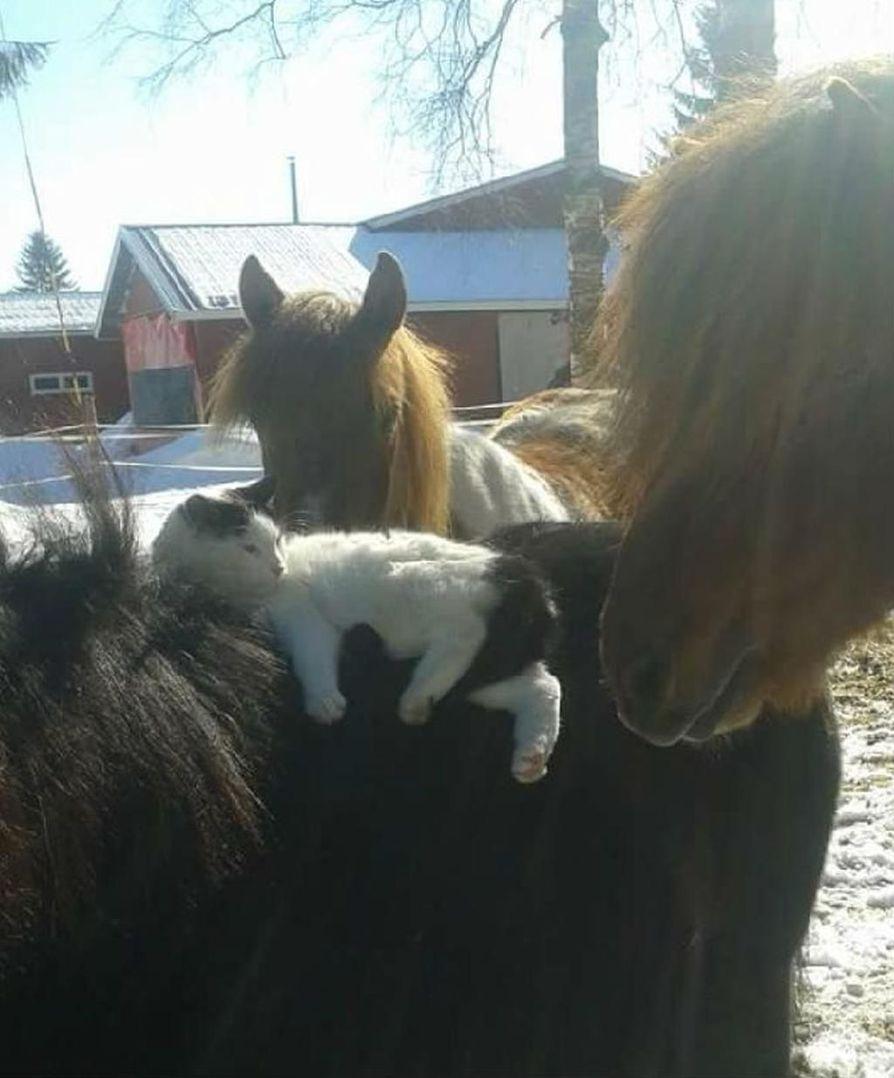 Pyry-kissa kellii Miska-shetlanninponin selässä Bubi- ja Forkur-hevosten ihmetellessä. Kuva on otettu Ylitornion Mellajärvellä.