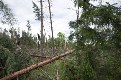 Tuulenkaadoista suurin osa korjattu Taivalvaaralla –myrskytuhot ovat pitäneet urakoitsijat kiireisinä