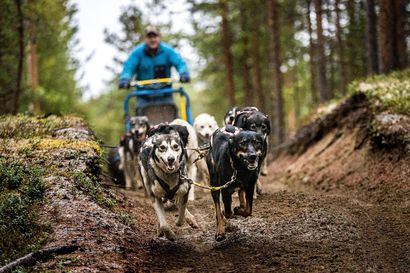 Juha-Pekka Björkstedtin huskyt tahtovat juoksemaan, vaikka turistit puuttuvat – Koirista kasvoi vaivihkaa Lapin matkailun hittituote, mutta miksi juuri koirista?