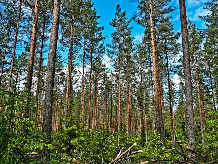 Ovatko biopolttoaineet sittenkään fossiilista hiiltä puhtaampaa? Palmuöljyä käytetään paljon, mutta Suomessa on kehitetty mäntyöljy.