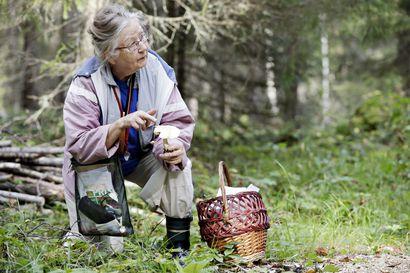 Helle ei ehkä vienytkään sieniä Oulun seudulta – Sienitohtori Esteri Ohenoja kertoo, mistä niitä kannattaa nyt etsiä
