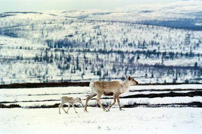 Tutkimus: poro korvasi villipeuran Suomen alueen saamelaisten käyttämillä uhripaikoilla 1400–1600-lukujen aikana