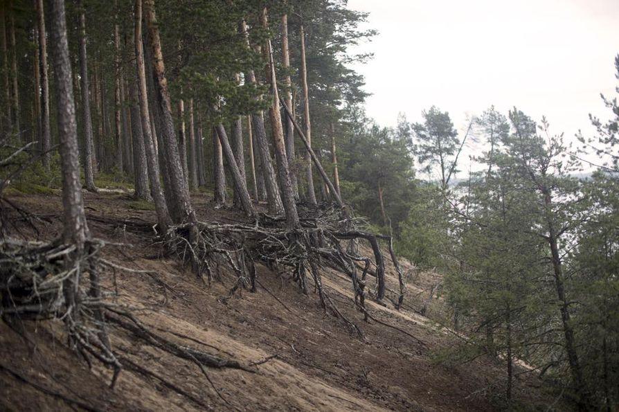 Eroosio syö saarta vähä vähältä. Saarta reunustavien mäntyjen juuret nousevat maasta kuin jättimäiset hämähäkit.