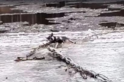 Katso dramaattinen video: Hyinen Simojoki oli viedä Sinni-koiran mukanaan –Hirvenpyytäjien kaukonäköisyys pelasti lopulta jäihin juuttuneen koiran