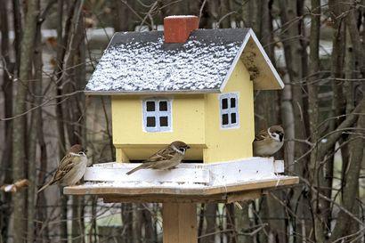 Tammikuun lopun Pihabongauksessa tarkkaillaan taas talvilintuja – bongauksen tuloksista saadaan tietoa talvisen linnuston muutoksista