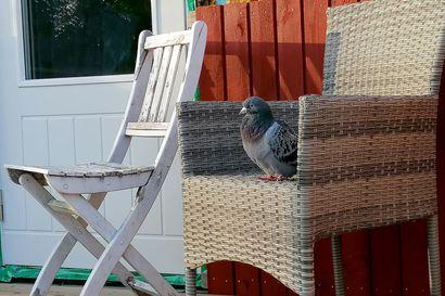 Kyyhkynen majoittui päiväksi parveketuoliin