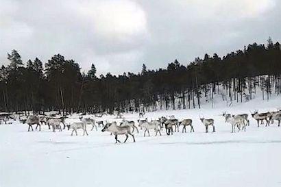 """Porojen jäälle ruokinta kuumentaa tunteita Inarissa,  jäällä on laskettu olleen jopa 500 poron tokka – Paliskunta: """"Malttia nyt, poroilla on ollut raskas lumitalvi"""""""