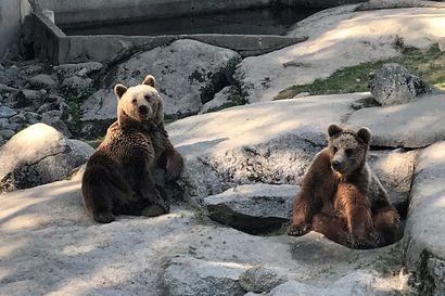 Karhujen metsästyskiintiötä kasvatettiin – tarkoituksena vähentää muun muassa porotalouden kärsimiä karhuvahinkoja