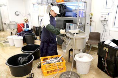 Lokan kalastajat opettelivat tekemään kalamassaa – kalahanke voi olla Euroopan paras