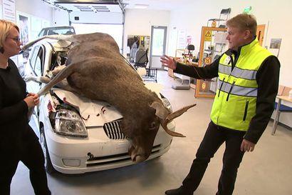 Oulu–Kemi-väli on yksi pahimpia hirvikolarialueita – katso tietoisku hirvikolareista