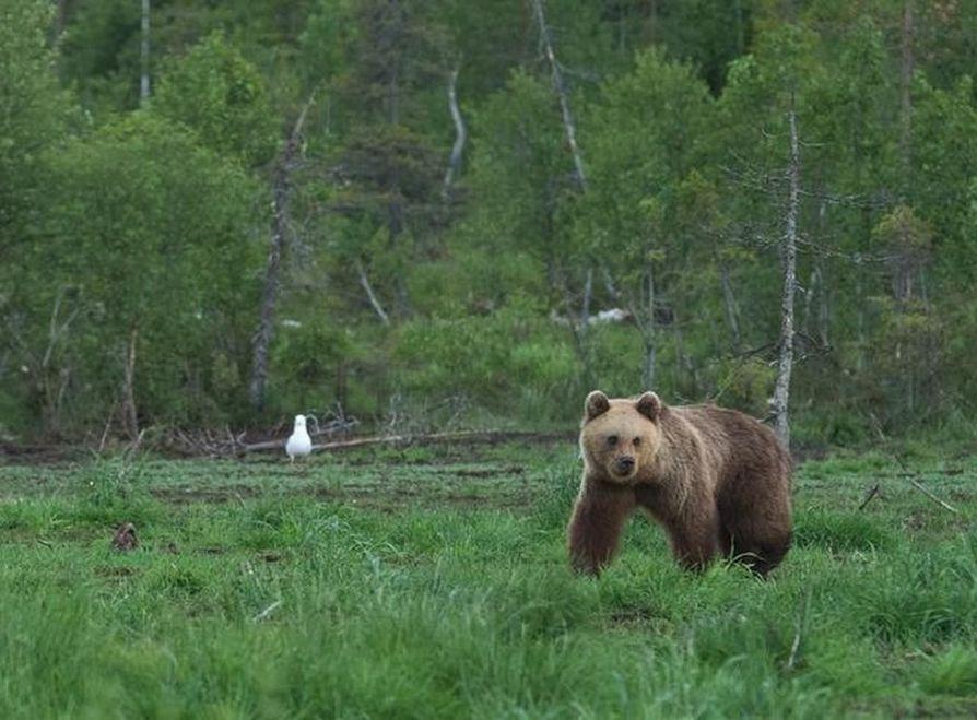 Karhu haavoittui keskiviikkona Sotkamon Kurkisuon lähellä Romuvaaran pohjoispuolella Ontojoella. Arkistokuva.