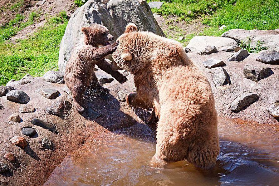 Doris-emossaan innokkasti roikkunut karhunpentu sai nimekseen Jehu.