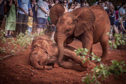 Satoja norsuja kuollut Botswanassa – kuolinsyystä ei mitään käsitystä