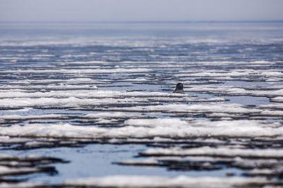 """Vuoden jutut: """"Jos haluaa nähdä enemmän nisäkkäitä kerralla, pitää mennä Afrikkaan"""" – Hylkeenpyytäjä Jouni Heinikoski vei toimittajan ja kuvaajan Perämeren viimeisille jäänrippeille, jossa odotti mykistävä näky"""