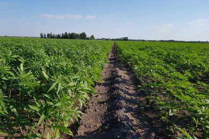 Selluteollisuuden ei tarvitse jäädä raaka-aine pulaan, muistuttaa Veli Pohjonen –Hampusta saa kuitua teollisuuden tarpeisiin