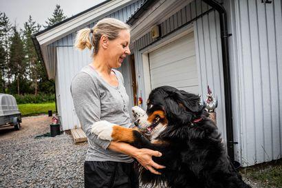 Berninpaimenkoira Helmiina söi purkkapussin ja joutui tiputukseen – Ksylitoli on koirille hengenvaarallista