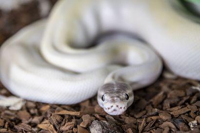 """Oululainen Marika Tomperi on käärmeiden lumoissa: """"Käärmeet eivät ole seuraeläimiä, vaan katselulemmikkejä"""""""