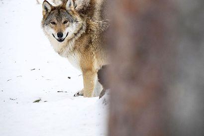 Sudet tappoivat Tyrnävällä sunnuntaina koulutuksessa olleen hirvikoiran – petoyhdyshenkilö epäilee jälkien perusteella kyseessä olleen kaksi sutta